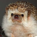 hedgehog#9387